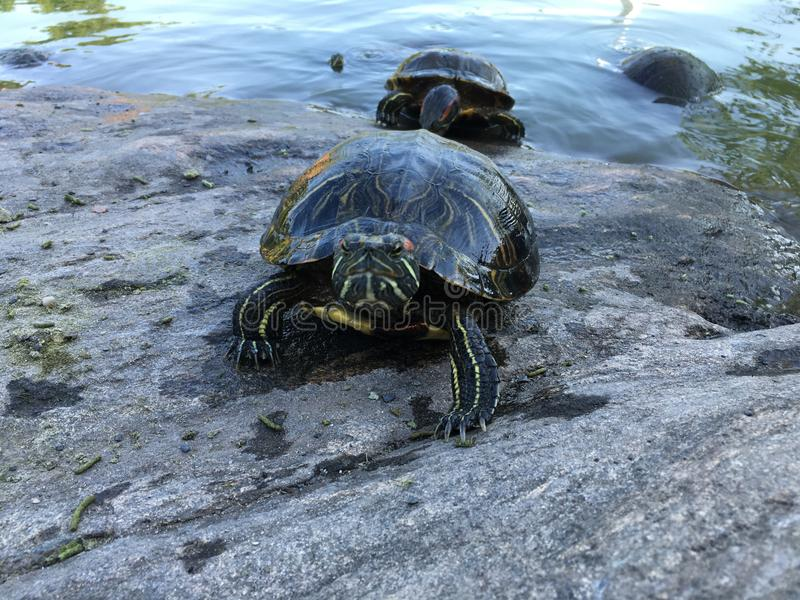 Черепахи приближают к пруду черепахи в лете в Central Park стоковое изображение