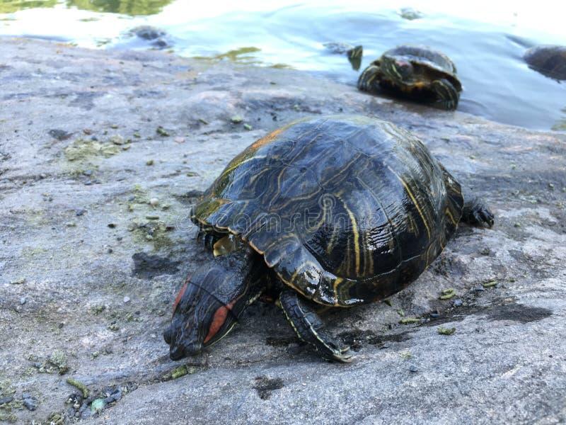 Черепахи приближают к пруду черепахи в лете в Central Park стоковая фотография rf