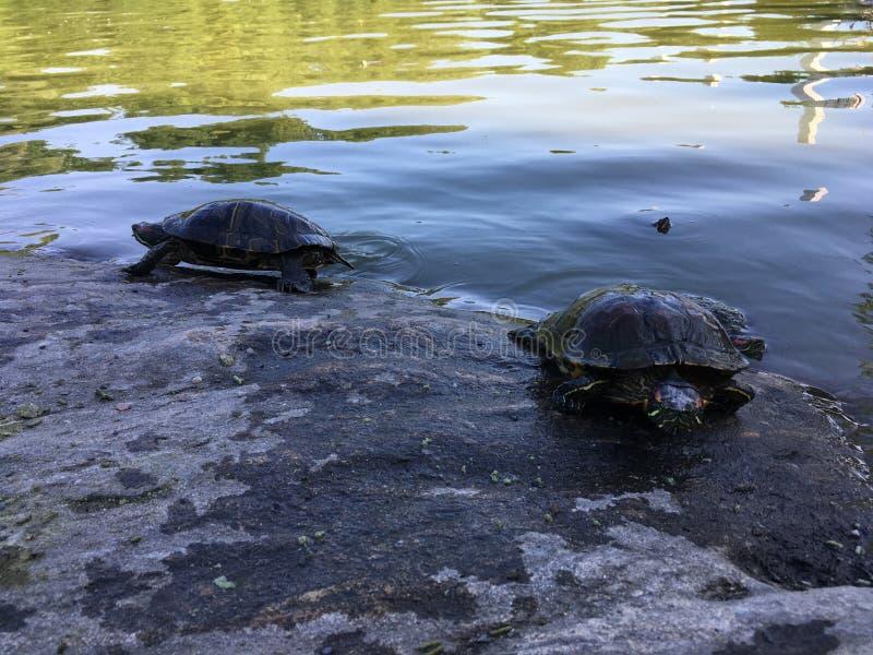 Черепахи приближают к пруду черепахи в лете в Central Park стоковые фото