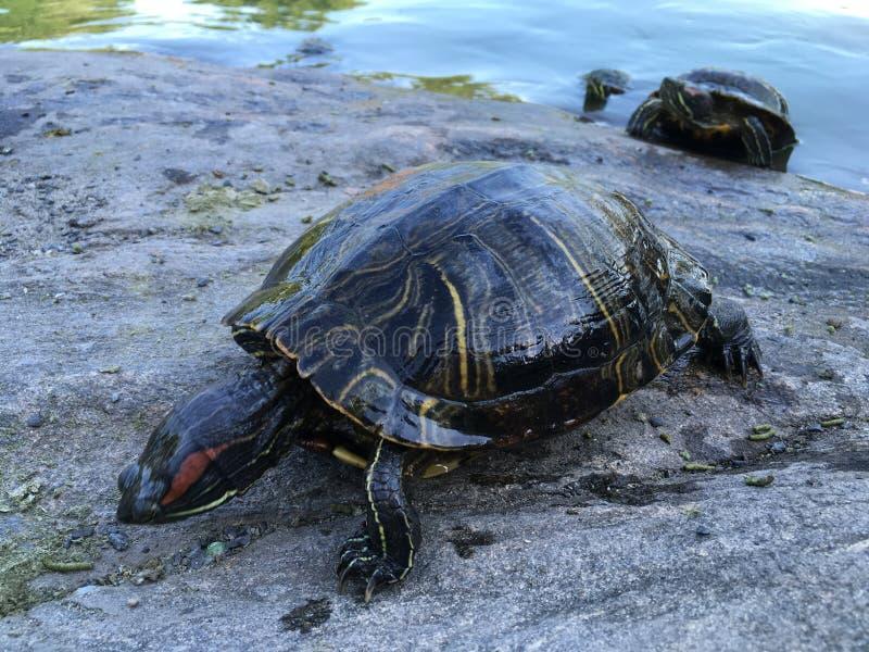 Черепахи приближают к пруду черепахи в лете в Central Park стоковая фотография