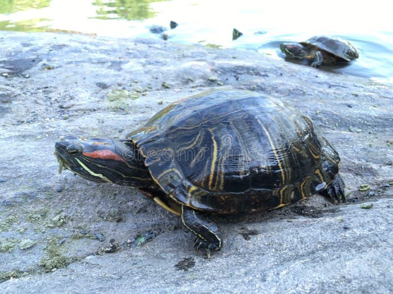 Черепахи приближают к пруду черепахи в лете в Central Park стоковые изображения