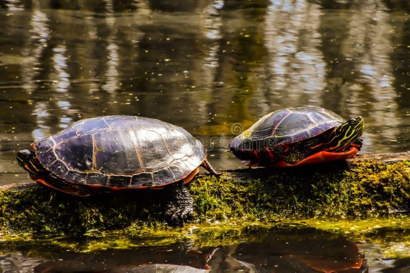2 черепахи улавливая лучи на мшистом журнале стоковое изображение