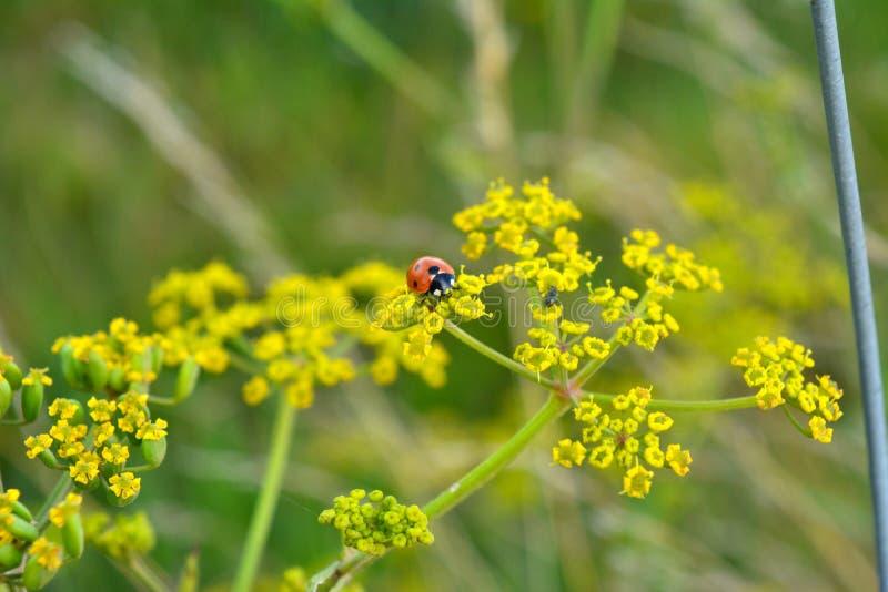 Черепашка дамы на траве стоковое изображение rf