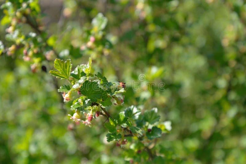 Черепашка сада сидит на ветви blossoming крыжовника на Sunn стоковое изображение rf