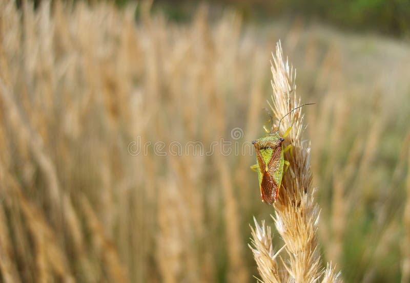Черепашка экрана или черепашка вони на заводе травы в луге стоковое фото rf