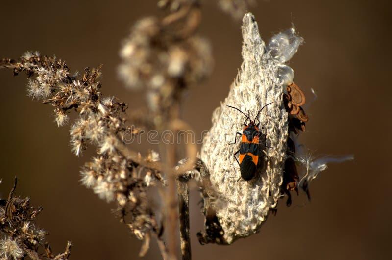 Черепашка Milkweed на стручке стоковая фотография rf