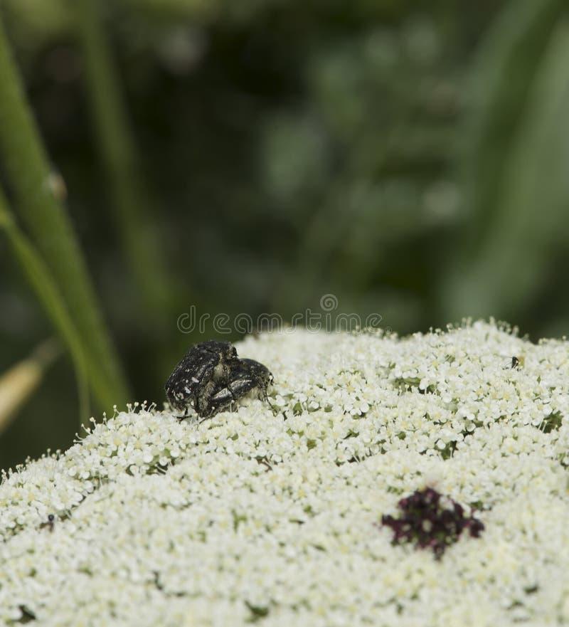 Черепашки на цветке, пары общего зеленого экрана прослушивают сопрягая съемку макроса Съемка макроса сопрягать 2 черепашок окруже стоковое изображение rf