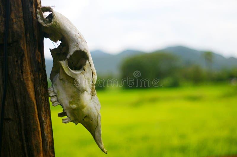 Череп буйвола головной стоковая фотография rf