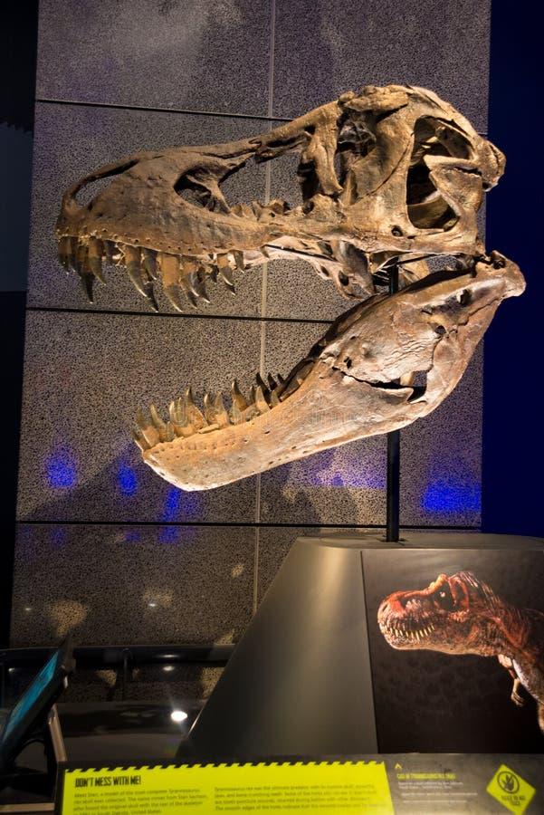 Череп динозавра в музее Новой Зеландии стоковая фотография rf