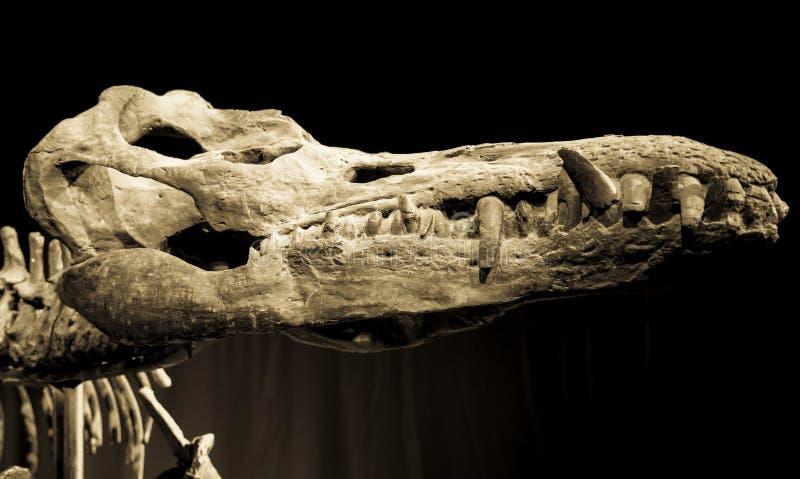 Череп динозавра - Liopleurodon стоковое фото