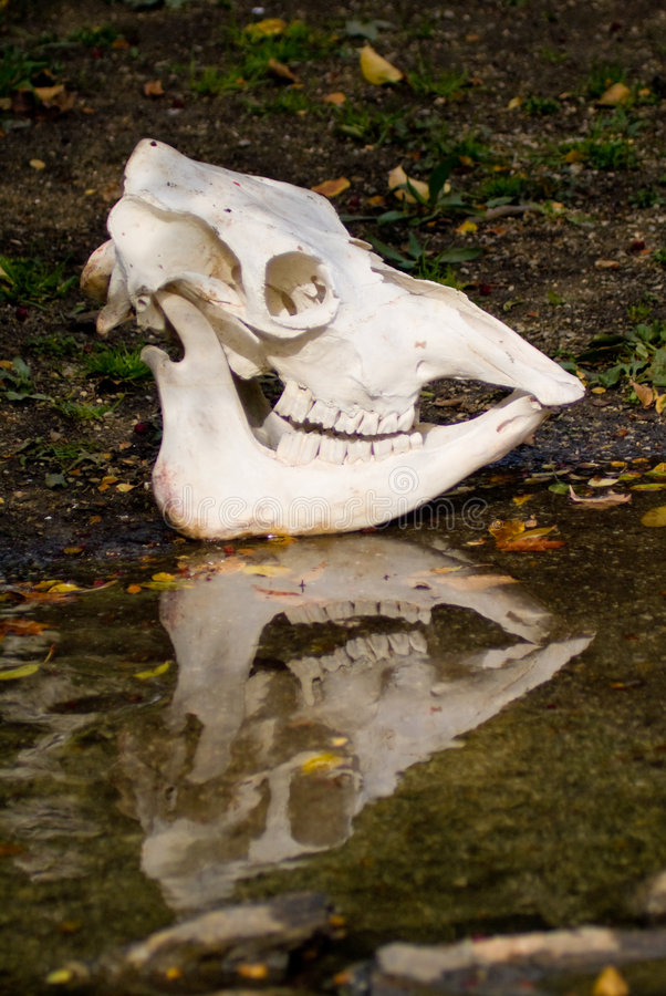 Download череп коровы стоковое изображение. изображение насчитывающей челюсть - 6865623