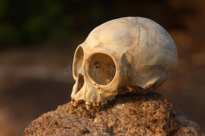 Download Череп обезьяны стоковое фото. изображение насчитывающей скелет - 33739222