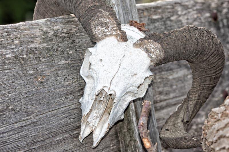 Череп овец на значительно западной фуре стоковое изображение rf
