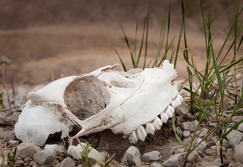 череп овец неплодородных почв стоковое изображение rf