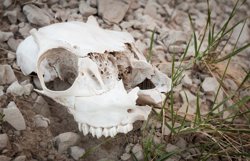 череп овец неплодородных почв стоковое изображение
