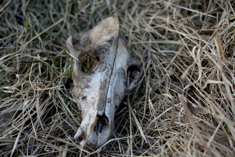 Череп собаки на траве стоковые фото
