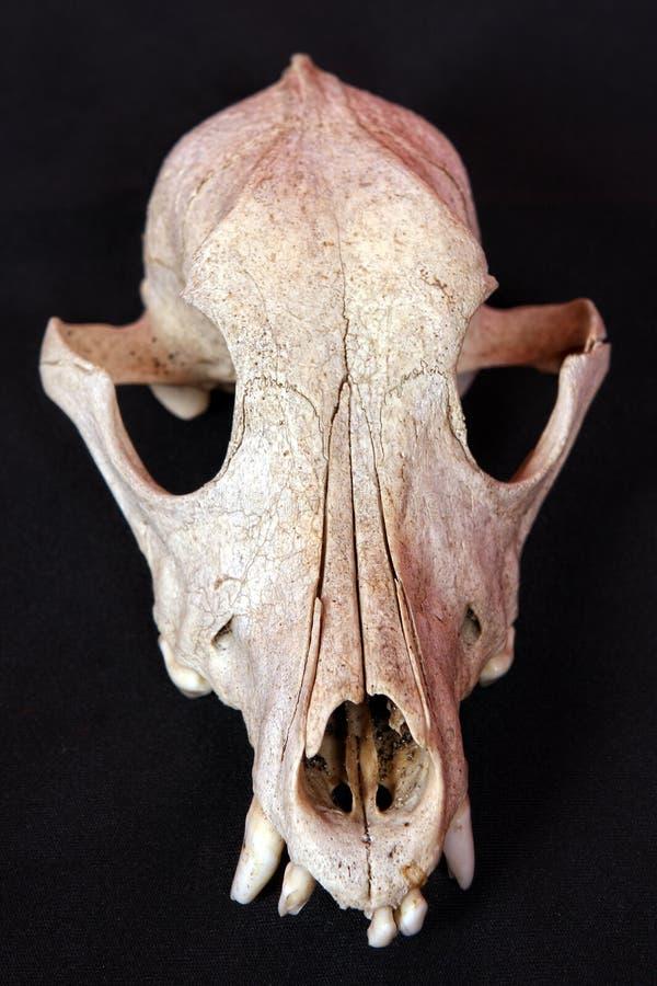 череп собаки стоковые изображения