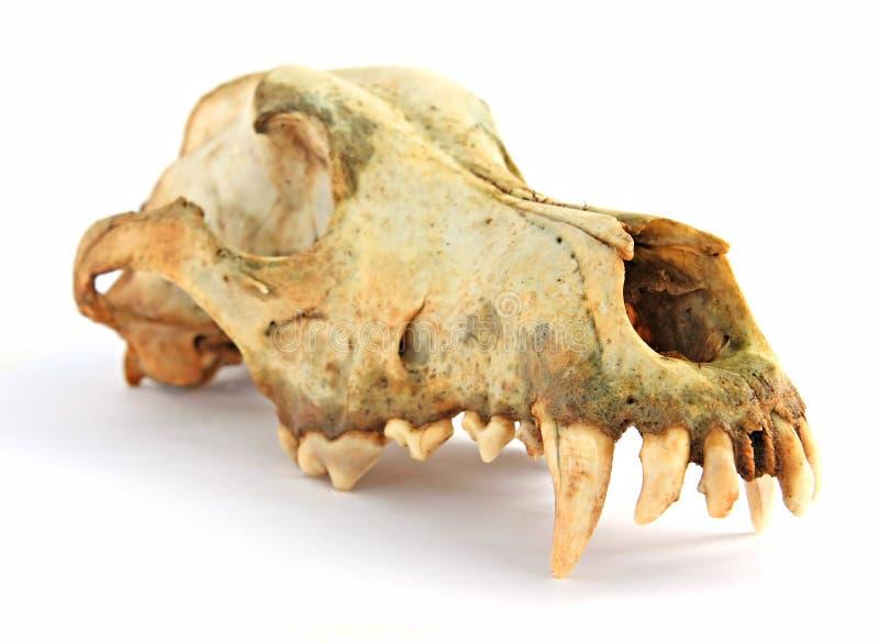 череп собаки стоковые изображения rf