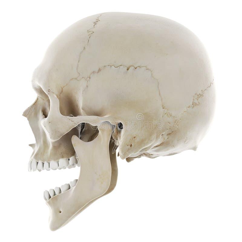 Череп с открытой челюстью иллюстрация штока
