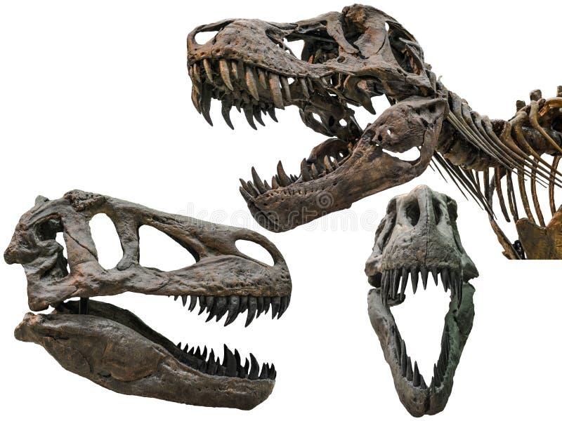 Череп тиранозавра стоковое изображение rf