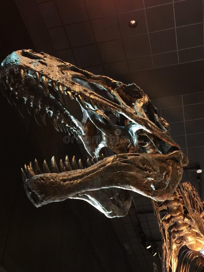 Череп Rex тиранозавра стоковые фотографии rf