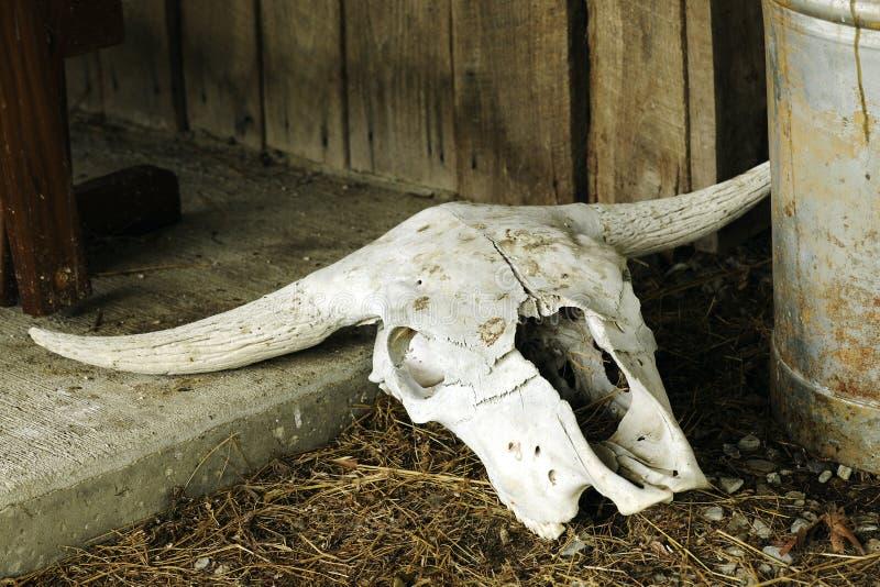 череп texas лонгхорна стоковые изображения rf