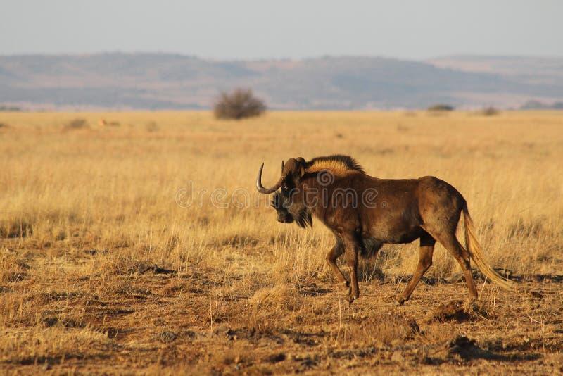 Черная антилопа гну в Африке стоковая фотография rf