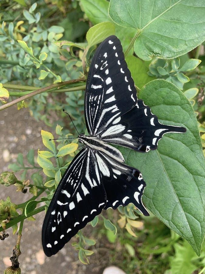 Черная бабочка стоковые изображения