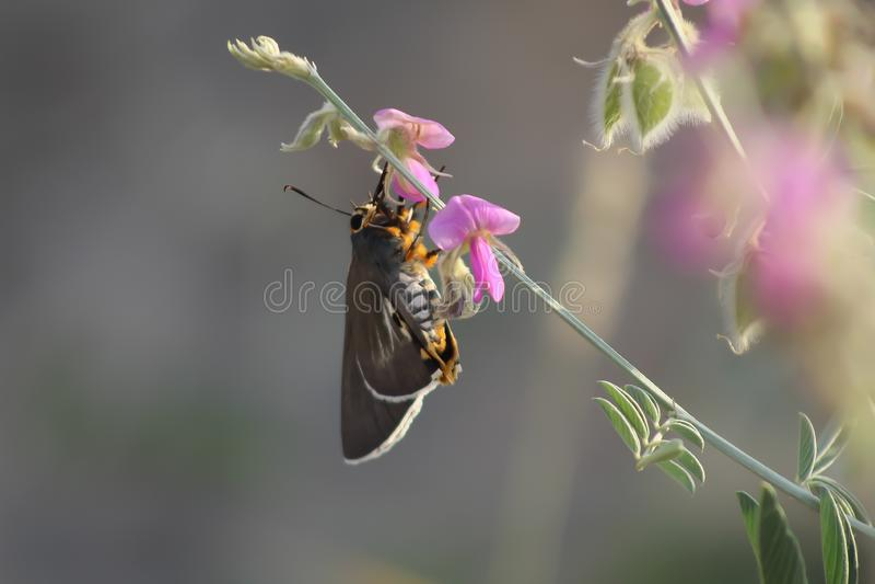 Черная бабочка, стоящая в розе, ест стоковое изображение