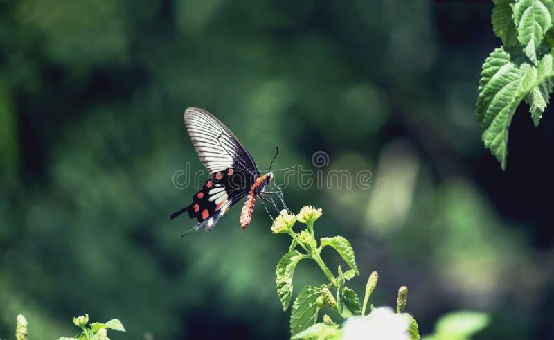 Черная бабочка с оранжевым телом и красные пятна на крыльях на зеленых предпосылках стоковая фотография