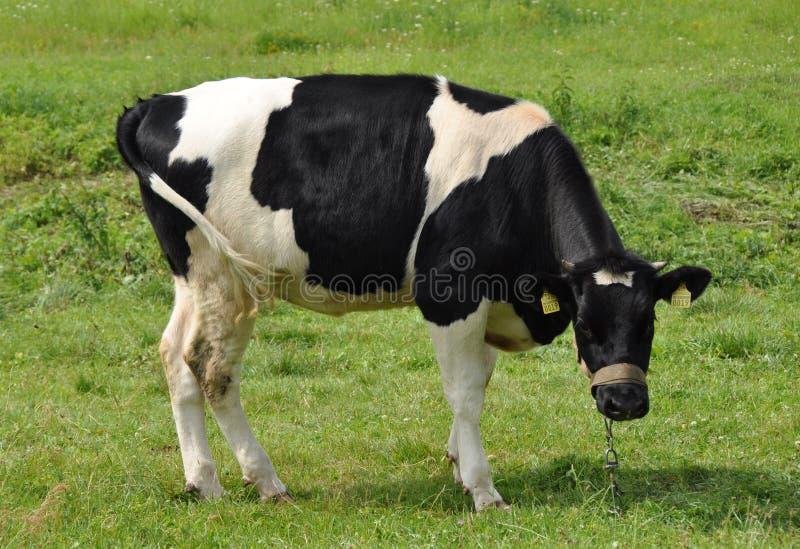 черная белизна коровы стоковая фотография rf