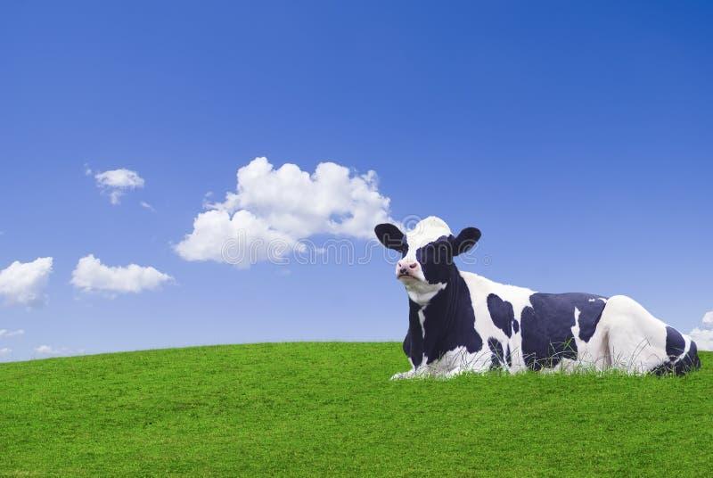 черная белизна коровы стоковое изображение