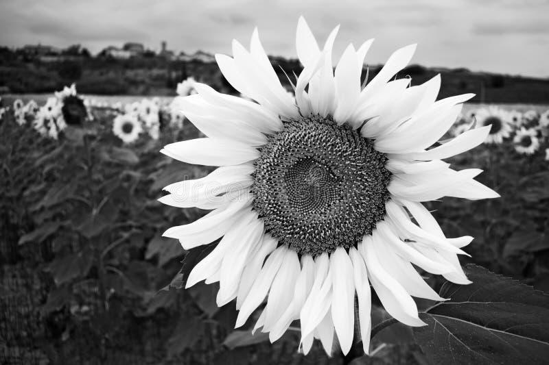 черная белизна солнцецвета стоковое фото rf