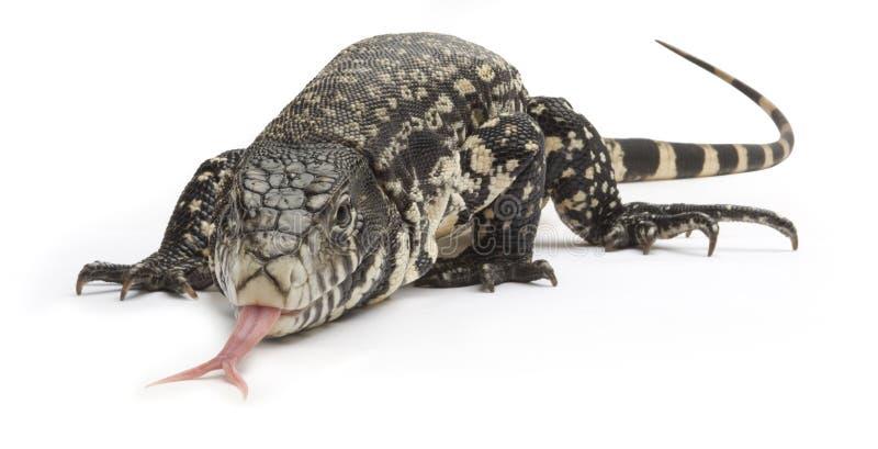 черная белизна tegu ящерицы стоковые фотографии rf