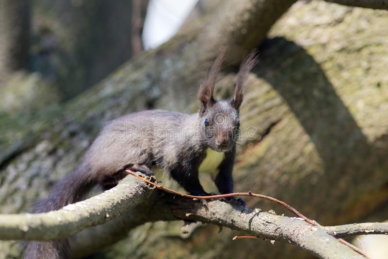Черная белка на ветви дерева стоковые фото