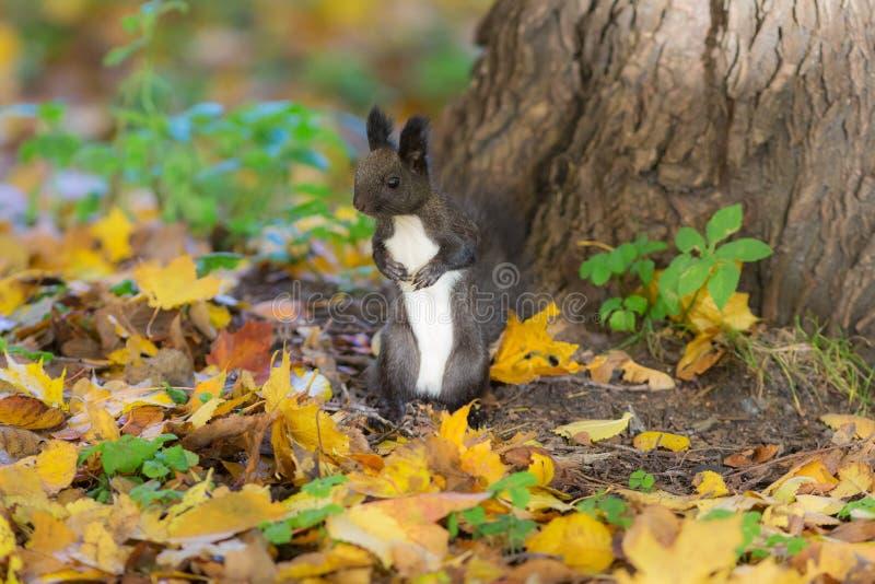 Черная белка на листьях осени стоковое фото rf