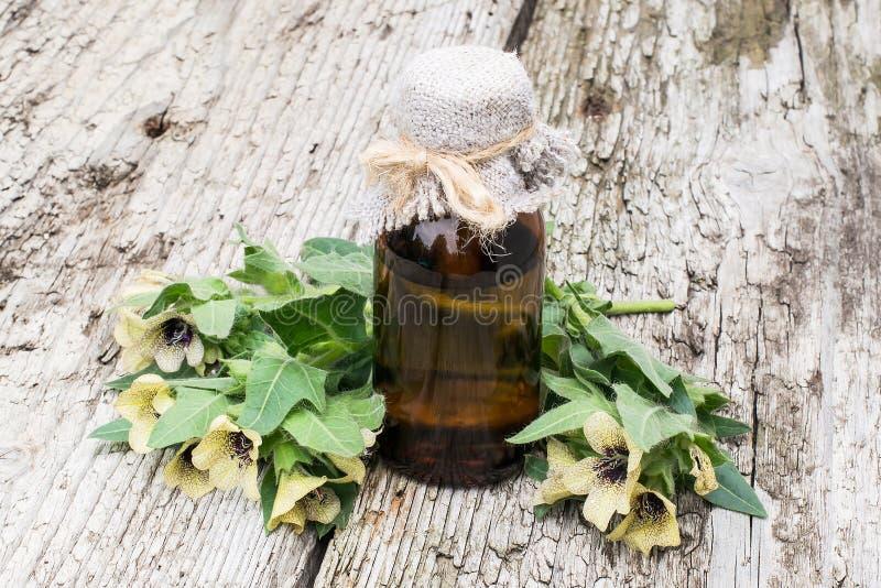 Черная белена (Hyoscyamus Нигер) и масло стоковые изображения rf