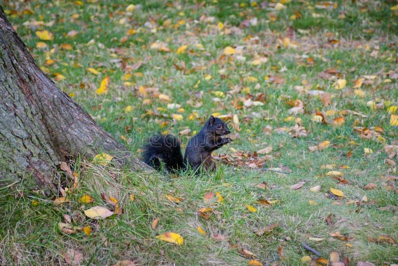Черная белка Central Park стоковое изображение rf
