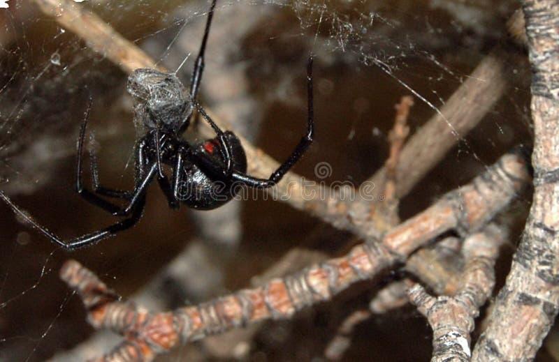 черная вдова спайдера стоковая фотография rf