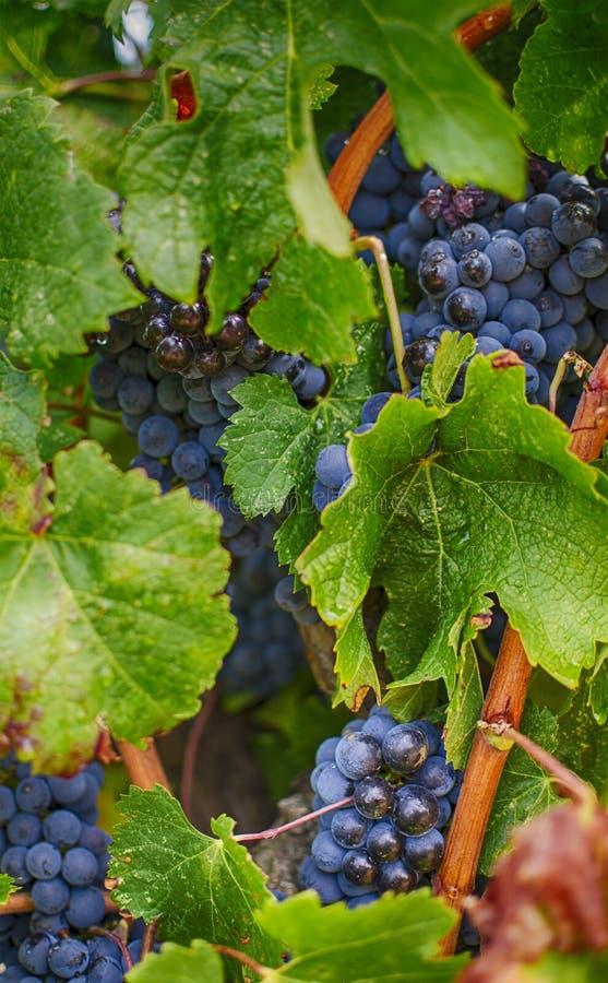 черная виноградина стоковые фотографии rf