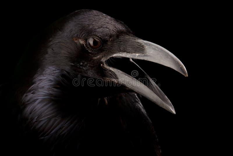 Черная ворона в черноте стоковые изображения rf