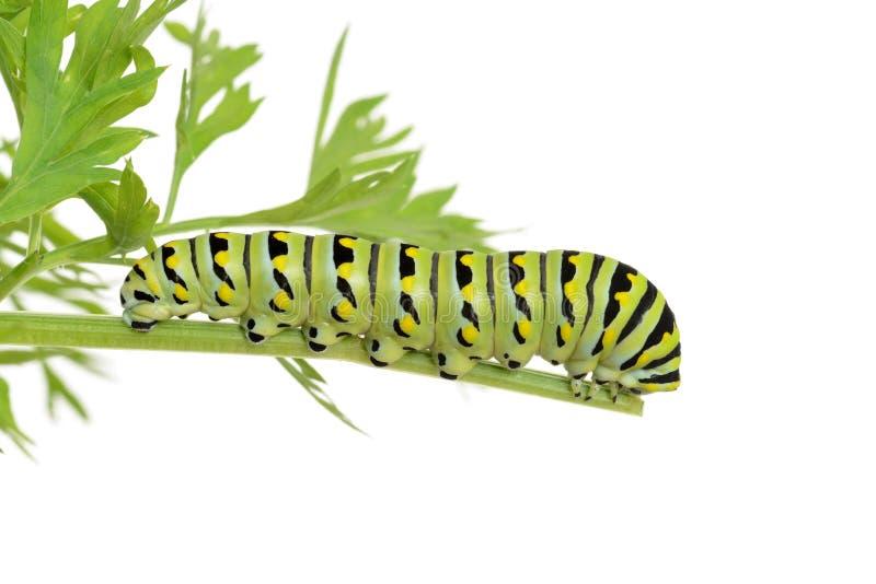 Черная гусеница swallowtail на заводе моркови стоковые фотографии rf