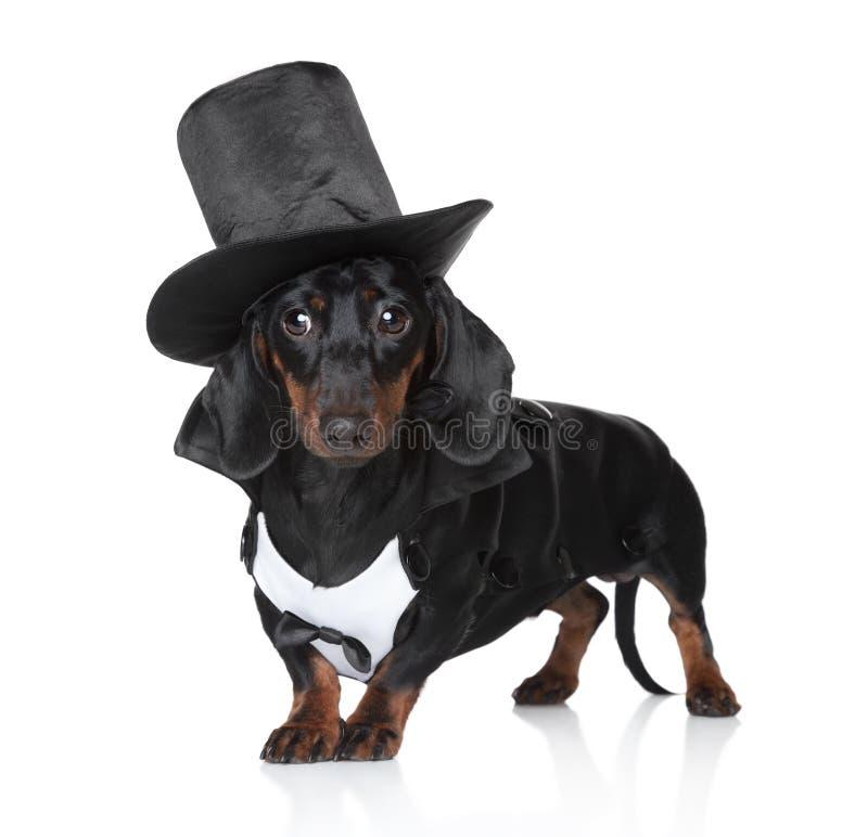 черная жилетка миниатюры шлема dachshund стоковое фото