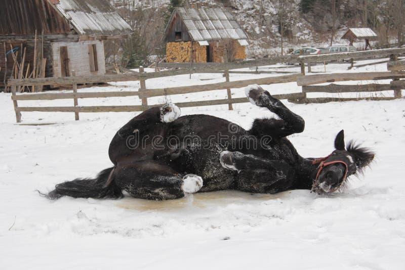 Черная завальцовка лошади в снеге стоковая фотография