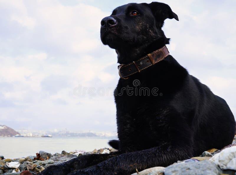 Черная задумчивая собака с ярким глазом на предпосылке залива моря и холм со зданиями города Россия стоковые фотографии rf