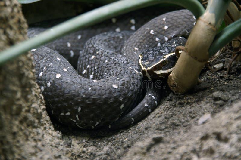 черная змейка 2 стоковое изображение rf