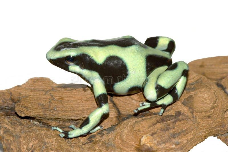 Черная и зеленая лягушка на коре дерева стоковые фотографии rf
