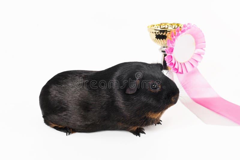 Черная и красная ровная морская свинка породы Tan на предпосылке чашки золота на белой предпосылке стоковые изображения rf