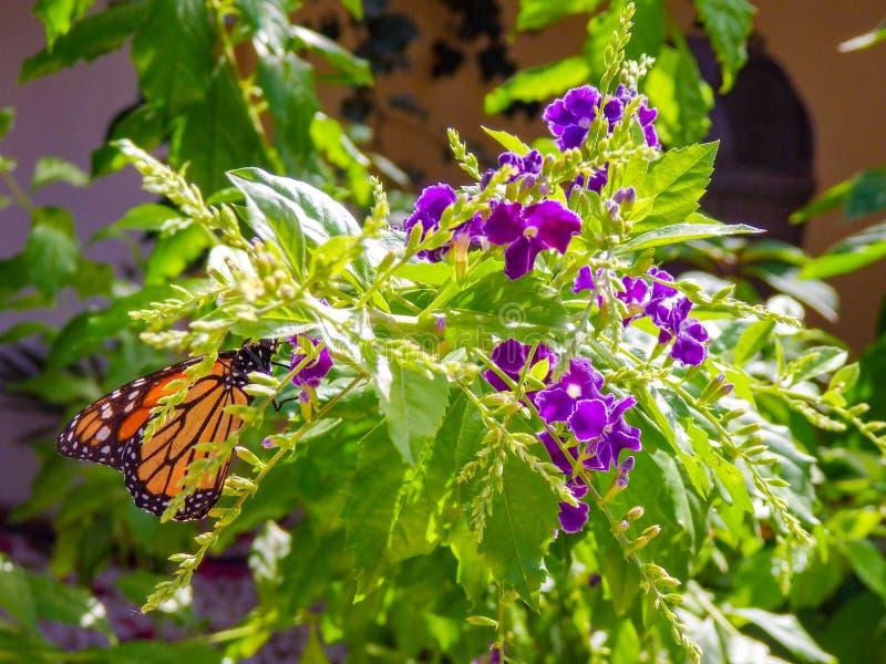 Черная и оранжевая бабочка монарха питаясь на пурпурном цветке Duranta стоковые изображения rf