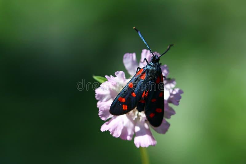 Черная и оранжевая бабочка на цветке стоковая фотография rf